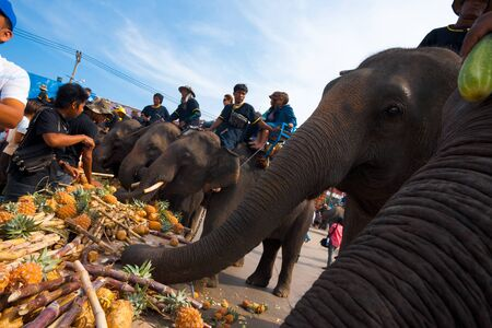 surin: SURIN, ISAN, THAILAND - NOVEMBER 19, 2010: Elephants feed on an assortment of food at the elephant breakfast portion of the annual Surin Elephant Roundup on November 19, 2010 in Surin, Thailand