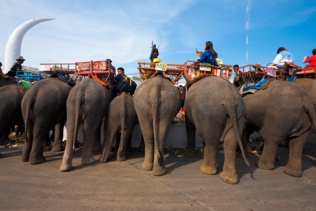 SURIN, ISAN, THAILAND - NOVEMBER 19, 2010: Elephants eat large amounts of fruits at the elephant breakfast portion of the annual Surin Elephant Roundup on November 19, 2010 in Surin, Thailand