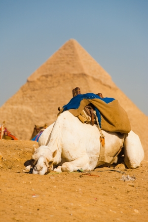 sprawled: A sad lazy camel is sprawled out on the sand in front of the pyramids of Giza in Cairo, Egypt