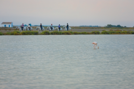 briny: A beautiful pink flamingo eats plankton in the briny pond waters of the Camargue at sunset in southern France