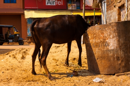 GOKARNA, INDIA - MARCH 29, 2009: An Indian cow uncomfortably buries its head in a trash dumpster to eat the garbage within on March 29, 2009 in Gokarna, India Stock Photo - 15849637