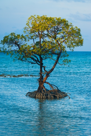 A centered solitary mangrove tree and its roots stand in the middle of the ocean off the coast of Neil Island of the Andaman and Nicobar Islands of India