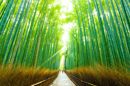 Early morning people walking through tall bamboo tree line road of Arashiyama Bamboo Grove in Kyoto, Japan