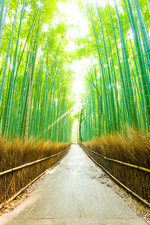 walkway: Beam of sunlight shines through tall bamboo tree forest lined with hay fence on a straight footpath at Arashiyama Bamboo Grove in Kyoto, Japan. Vertical