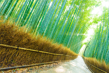 lightbeam: Morning sunlight peaks through tall bamboo trees to form god rays on an empty footpath road at Arashiyama Bamboo Grove forest in Kyoto, Japan. Tilted Stock Photo