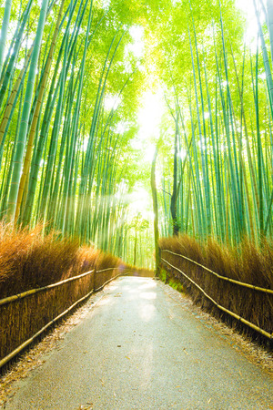 light god: Empty road lined by hay fence runs through tall bamboo tree forest with sun light god rays peaking through in Arashiyama Bamboo Grove in Kyoto, Japan