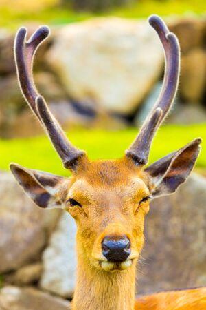 todaiji: Closeup front face and antlers of a revered deer looking at camera in Nara, Japan