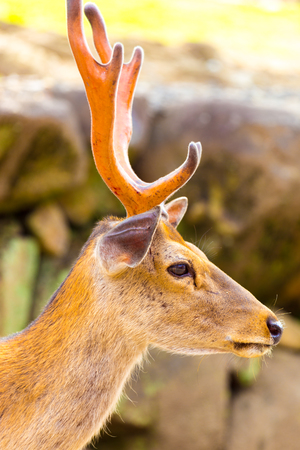 side head: Closeup side head, face and antlers of a revered deer looking at camera in Nara, Japan Stock Photo