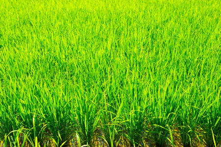 Green blades of backlit rice plant stalks in mud background