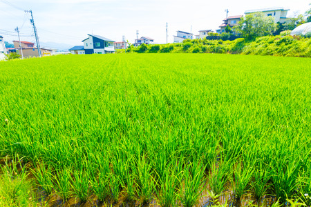 plot: Residential houses seen behind green stalks of grass on small plot of land used for rice farming in rural Japan. Horizontal