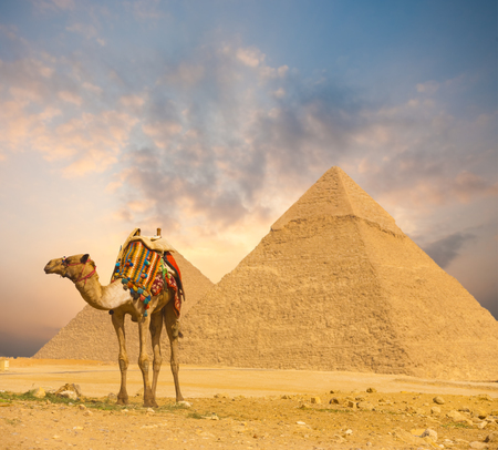 Wide sky sunset behind Egyptian Pyramids Khafre and colorfully outfitted standing camel at evening in Giza, Cairo, Egypt. Horizontal wide angle with plenty of sky copy space