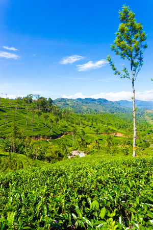 Beautiful scenic view of valley and surrounding mountains around neatly manicured tea plants on sunny day in tea plantation estate of highland town of Haputale, Sri Lanka. Vertical