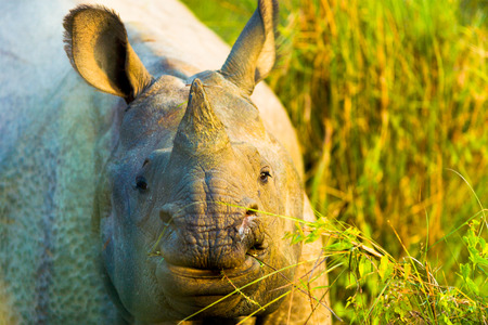 Frontal face view of endangered one horned Indian Rhinoceros in its natural habitat at Chitwan National Park, Nepal
