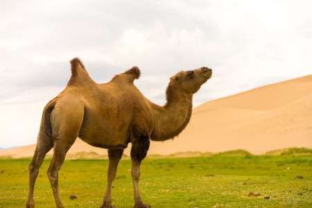 A bactrian camel with a flopping hump indicates poor health at the Khongor Els sand dune in the Gobi Desert of southern Mongolia Banco de Imagens