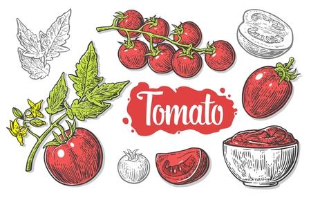 Set of tomatoes isolated on white background. Tomato, half and slice isolated engraved illustration.