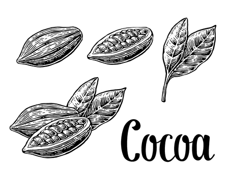 Leaves and fruits of cocoa beans. vintage engraved illustration. Black on white background.