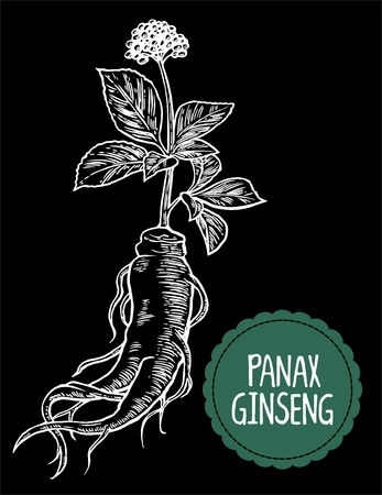 additives: Root and leaves panax ginseng. Vector engraving vintage illustration of medicinal plants. Biological additives are. Healthy lifestyle. For traditional medicine, gardening. Black background