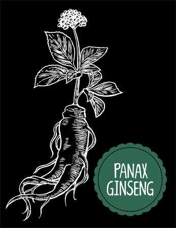 Root and leaves panax ginseng. Vector engraving vintage illustration of medicinal plants. Biological additives are. Healthy lifestyle. For traditional medicine, gardening. Black background Reklamní fotografie - 55198481