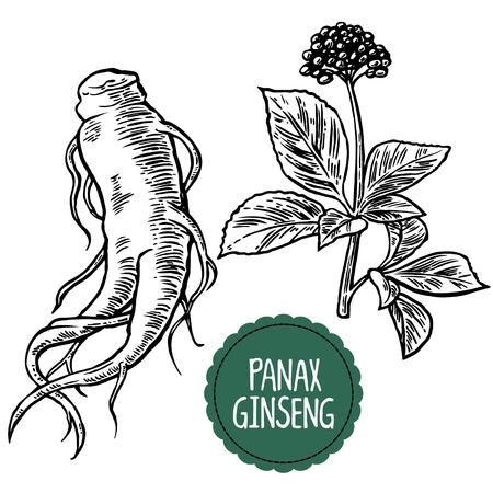 raices de plantas: Ra�z y las hojas de Panax ginseng. Vector ilustraci�n de la vendimia grabado en blanco y negro de las plantas medicinales. aditivos biol�gicos son. Estilo de vida saludable. Para la medicina tradicional, la jardiner�a.