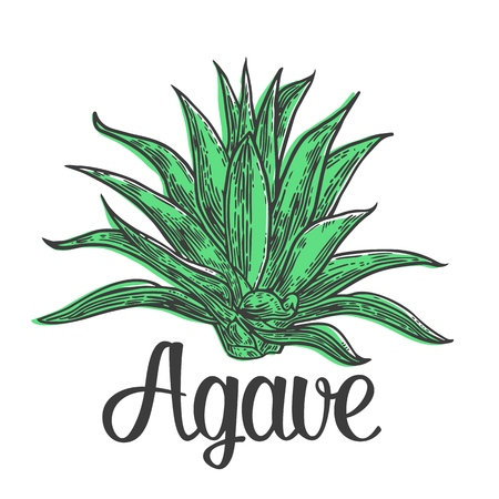 Cactus blue agave. Vintage vector engraving illustration for label, poster, web.
