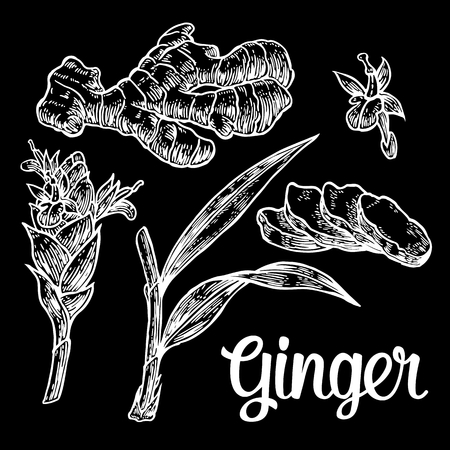 ginger root: Ginger. Root, root cutting, leaves, flower buds, stems. Vintage retro vector illustration for herbs and spices set Illustration