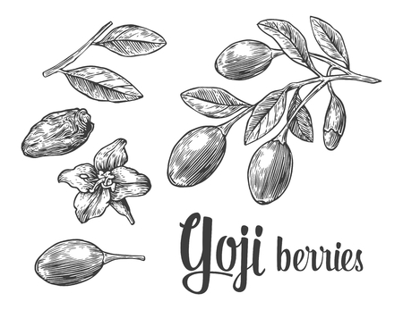 Goji berries on a branch. Vector black and white vintage engraving illustration