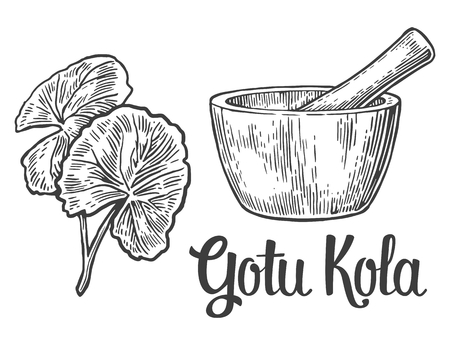 asiatic: Gotu kola - medicinal plant.  Vector vintage engraved illustration. Illustration