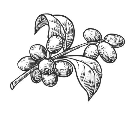 branche de café avec des feuilles et des baies. Main vecteur tracé, vendange, gravure illustration sur fond blanc.