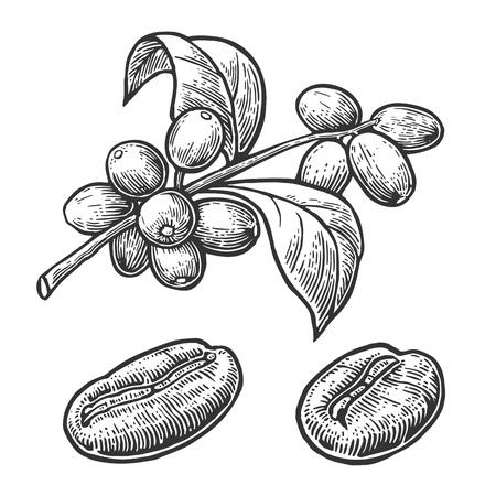 grains de café, de la branche avec des feuilles et des baies. Main vecteur tracé, vendange, gravure illustration sur fond blanc.