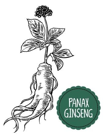 뿌리와 인삼 잎. 약용 식물의 벡터 검은 색과 흰색 조각 빈티지 그림. 생물 첨가제입니다. 건강한 생활. 전통 의학, 정원 가꾸기하십시오.