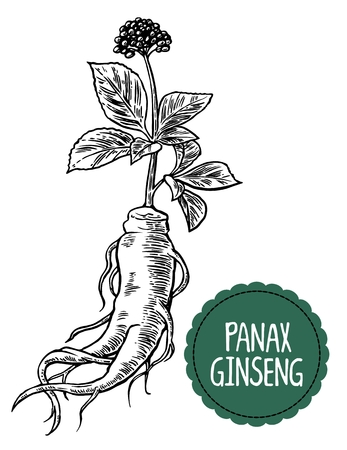 additives: Root and leaves panax ginseng. Vector black and white engraving vintage illustration of medicinal plants. Biological additives are. Healthy lifestyle. For traditional medicine, gardening.