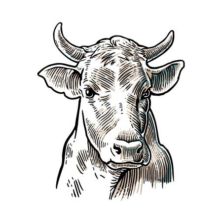 소 머리. 손 그래픽 스타일에 그려입니다. 정보 그래픽, 포스터, 웹 빈티지 벡터 조각 그림입니다. 흰색 배경에 고립