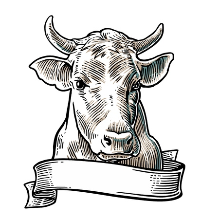 Cows head. Hand drawn in a graphic style. Vintage vector engraving illustration for info graphic, poster, web. Isolated on white background
