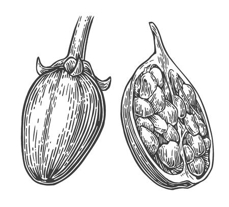 baobab: Baobab fruit and seeds. Vector vintage engraved illustration on white background. Hand drawn sketch Illustration