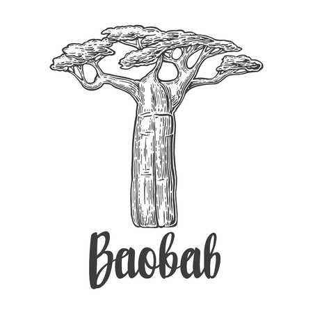 Baobab tree. Vector vintage engraved illustration on white background. Hand drawn sketch