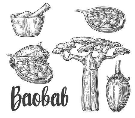 baobab tree: Baobab fruit, tree and seeds baobab. Mortar and pestle. Vector vintage engraved illustration isolated on white background. Baobab Hand drawn sketch