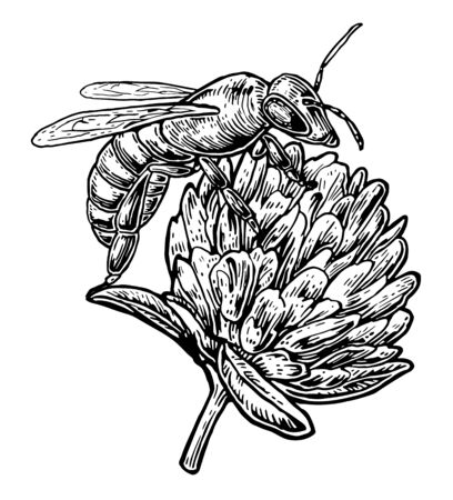 bee pollen: Bee pollen from clover. Vector vintage illustration on white background. Illustration