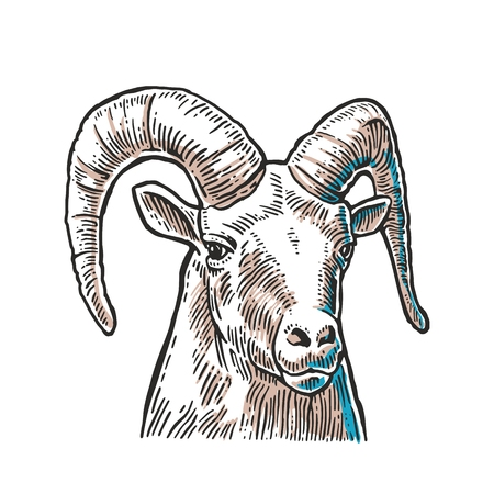goat head: Goat head isolated on white background. Vector black vintage engraving illustration for menu, web and label. Hand drawn in a graphic style.
