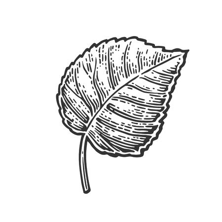 linden: Linden leaf. Vector vintage engraved illustration. Isolated on white background