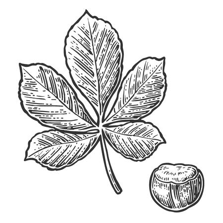 Kastanjeblad en moer. Vector vintage gegraveerde illustratie. Geïsoleerd op witte achtergrond Vector Illustratie
