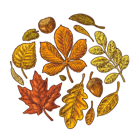 Set leaf and acorn. Vector vintage colorful engraved illustration. Isolated on white background