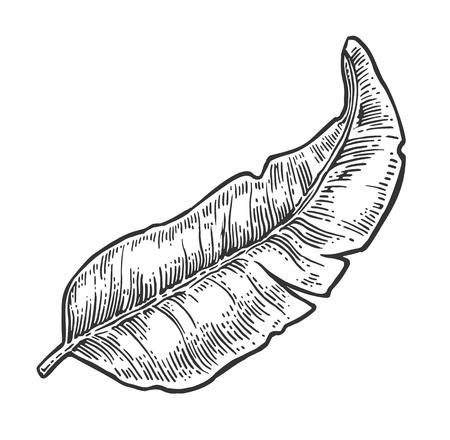 Plátano de hoja. Vector negro vintage grabado Ilustración para menú, web y etiqueta. Aislado en el fondo blanco.