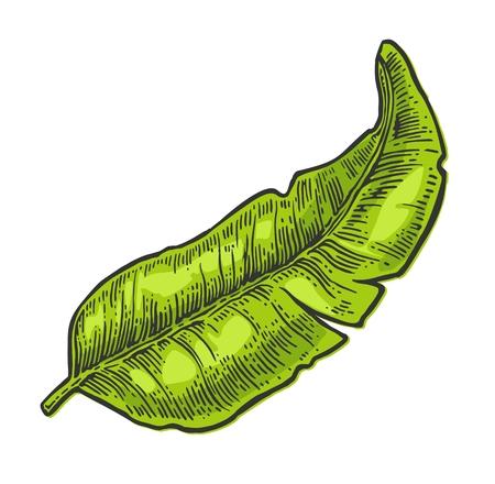 banana leaf: Leaf banana. Vector color vintage engraving Illustration for menu, web and label. Isolated on white background. Illustration