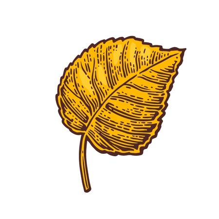 linden: Linden leaf. Vector color vintage engraved illustration. Isolated on white background Illustration
