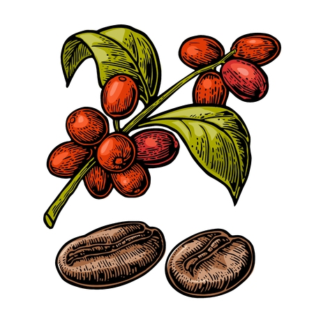 coffee berry: Coffee bean, branch with leaf and berry. Hand drawn vector vintage engraving color illustration on white background.