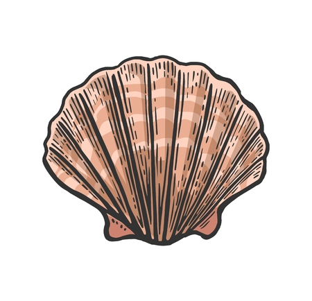 Sea shell Scallop. Color engraving vintage illustration. Isolated on white background Illustration
