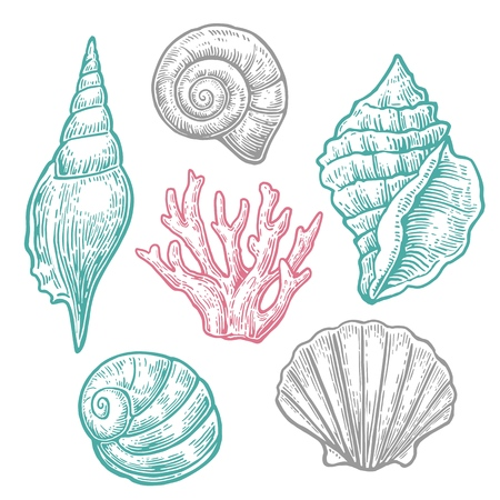 cockle: Sea shell. Set engraving vintage illustrations. Isolated on  white background. Illustration