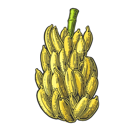 bunches: Bunches of fresh banana. Vector color vintage engraving Illustration for menu, web and label. Isolated on white background.
