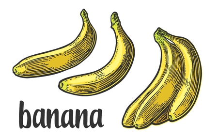 in copula: Two single and bunches of fresh banana. Vector color vintage engraving Illustration for menu, web and label. Isolated on white background.