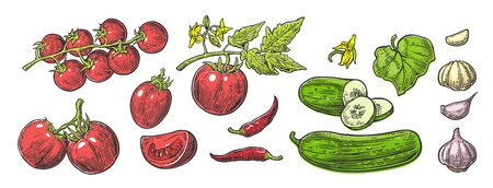 Cucumbers, Garlic, Chili and Tomato - whole, half, slices, leaf and flower. Isolated on the white background. Vector color hand drawn vintage engraving illustration for poster, label, menu, web.